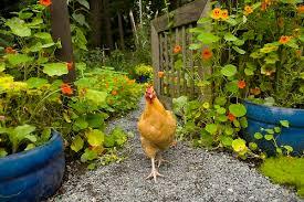garden-chicken